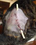 cat-abcess[1]